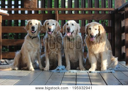 Golden retriever family. On the village. Nature.