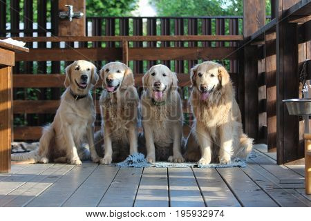 Golden retriever family. On the village. Animals and nature.