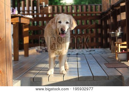Golden retriever sitting on the terrace. Countryside.