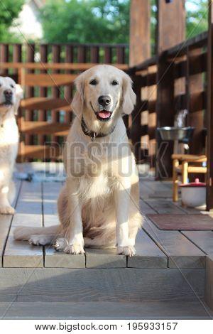 Golden retriever sitting on the terrace. Animals.