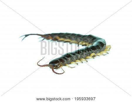 centipede on a white background, danger, arthropod