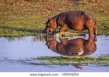 Hippopotamus and Nile crocodile in Kruger national park, South Africa ; Specie Hippopotamus amphibius family of Hippopotamidae