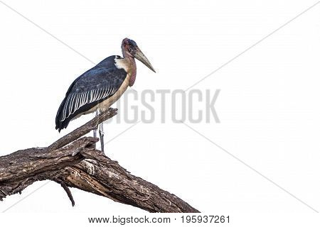 Marabou stork isolated in white background ; Specie Leptoptilos crumenifer family of Ciconiidae