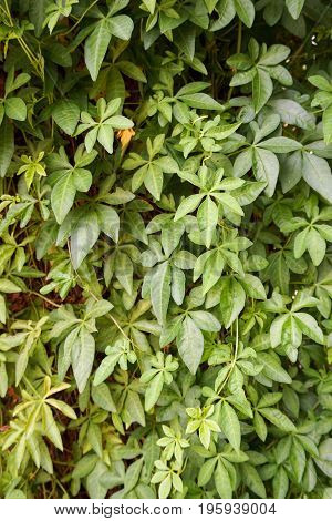 close up Ipomoea cairica plant in nature garden