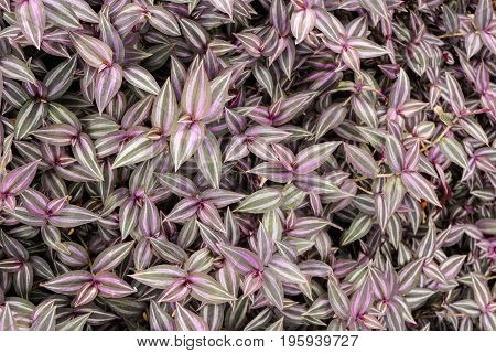 close up Tradescantia zebrina plant in nature garden