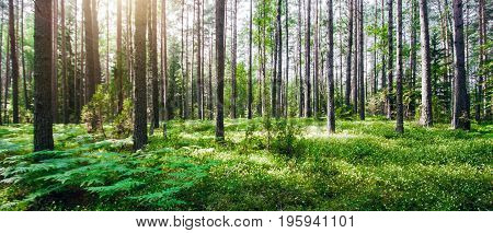 Beautiful wild forest. Summer landscape clear panorama
