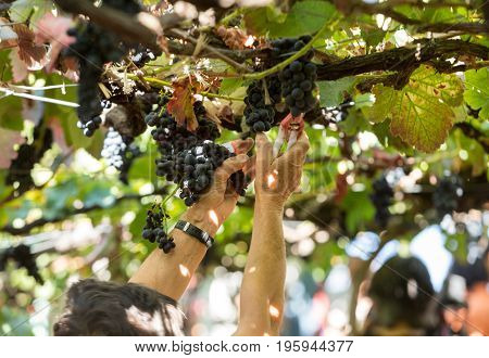 People harvesting grapes in the vineyard of the Madeira Wine Company at Madeira Wine Festival in Estreito de Camara de Lobos Madeira Portugal. The Madeira Wine Festival honors the grape harvest with a celebration of traditional local heritage and wine pro