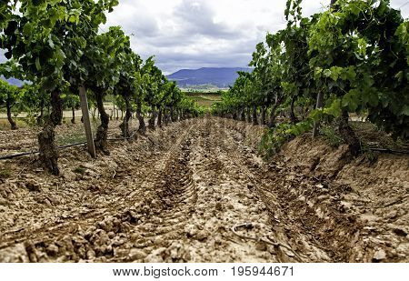 Wine Field To Make Wine