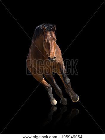 Bay horse runs forward isolated on black background