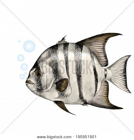 Atlantic fish-shovel sketch vector graphics color picture
