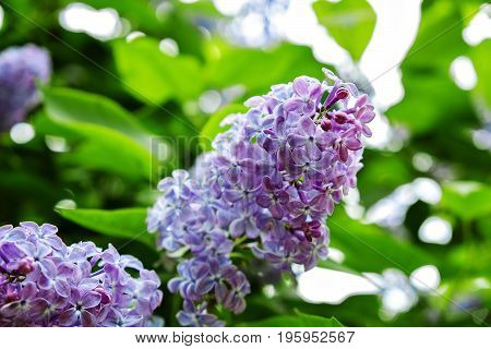 beautiful flower of lilac branches from close range