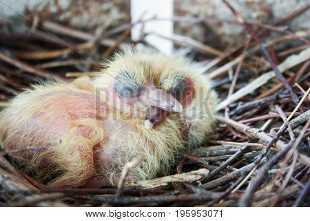 Chicks Of The Pigeon. Two Pieces. In A Nest