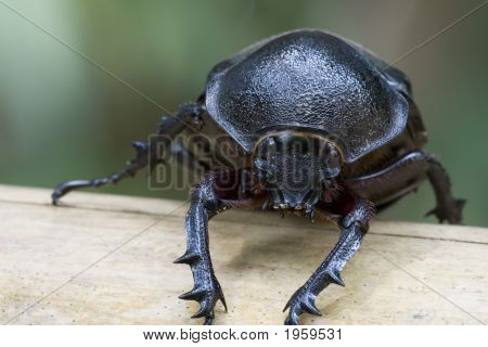 A female Rhinocerous Beetle known by its latin name as Xylotrupes gideon found at the tropical rainforest of Bukit Tinggi Pahang Malaysia. poster