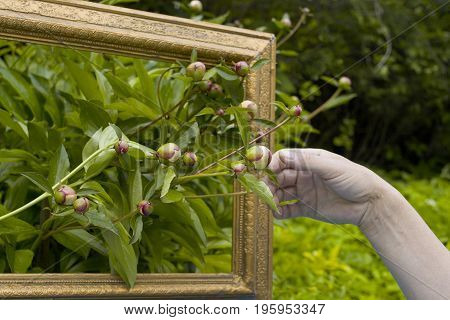 Human hand arranging peonies in vintage painting frame for further drawing outdoor closeup