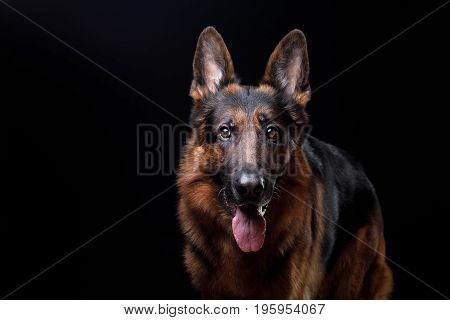 Dog German shepherd on a black background in Studio