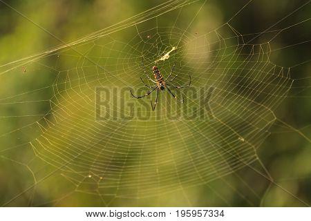 female Golden Web Spider Nephila pilipesin the forest of Laos