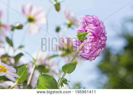 Side Rear View Of A Bracken Sequel Dahlia Flower Against Sky