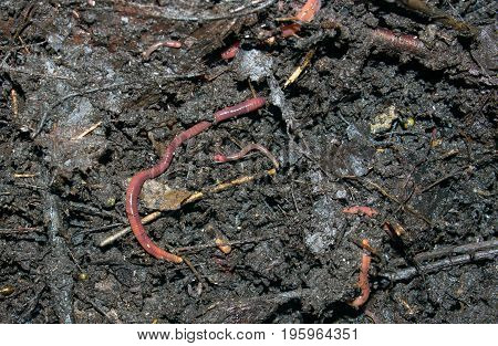 Red worms in chernozem and rotten leaves