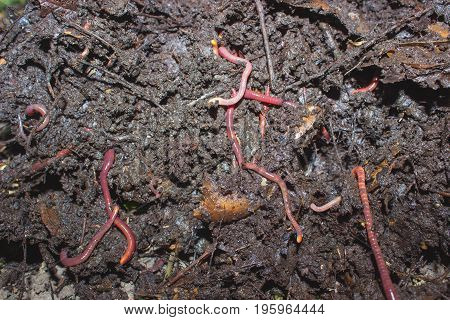 Red worms in humus leaf and sticks