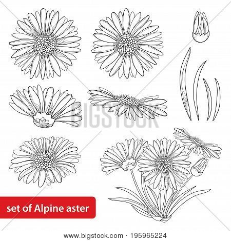 Vector set with outline open Alpine aster flower, bud and leaf isolated on white background. Ornamental Alpine mountain flowers in contour style for summer design and coloring book.