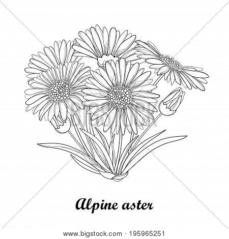 Vector bouquet with outline open Alpine aster flower, bud and leaf isolated on white background. Ornamental Alpine mountain flower in contour style for summer design and coloring book.