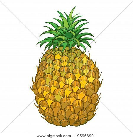 Vector drawing with outline Ananas or Pineapple fruit in yellow and green leaf isolated on white background. Perennial tropical plant in contour style for summer design, juicy or fresh food menu.