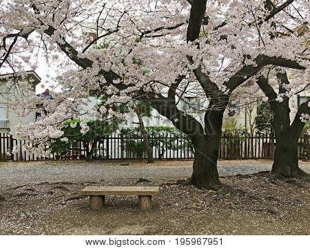 Bench stands under a blossoming sakura on the street in the city of Matsumoto