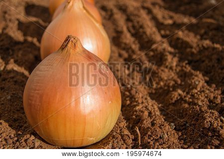 Closeup shot with copyspace golden onions in a row on damp soil surface