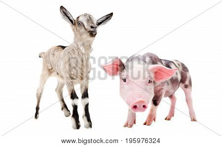Little pig and goat, standing together, isolated on a white background