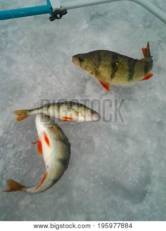 The theme of winter fishing. A few perch on the ice.
