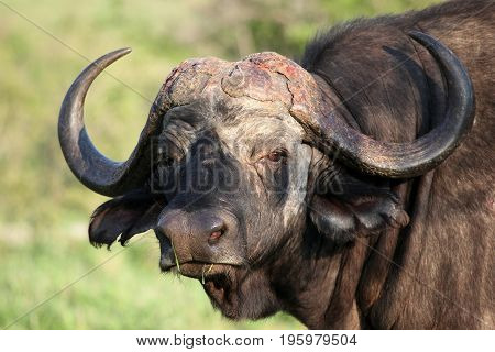 Cape Buffalo (Syncerus caffer) Eastern Cape South Africa