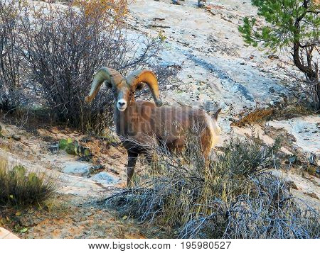 large, male, desert big horn sheep are native to Zion National Park,desert