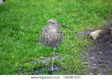 Curlew Standing On One Leg
