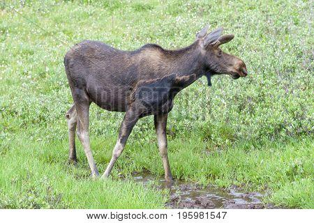 Wild Shiras Moose in the Rocky Mountains of Colorado