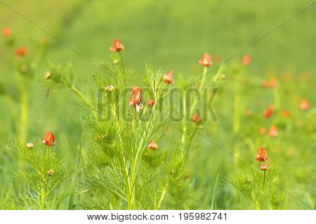 Colorful Spring Morning Background Of Red Adonis (summer Pheasant's Eye)