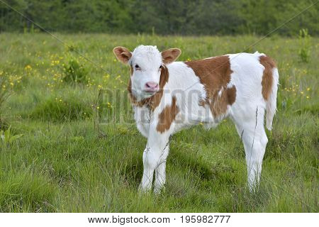 A Beautiful little calf in green grass
