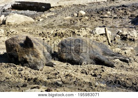 Wild Boar Lying In The Mud. Pig in the open-air