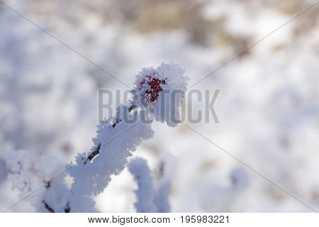 Snow winter in town. Dog rose (wild rose) with frosty red rose hips, urban red and yellow pipes on the blur background. Village in a winter day and snow. Winter frosty trees on snow white background. winter landscape with red rose-hips