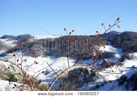 Snow winter in town. Dog rose (wild rose) with frosty red rose hips, urban red and yellow pipes on the blur background. Village in a winter day and snow. Winter frosty trees on snow white background. .winter landscape with red rose-hips