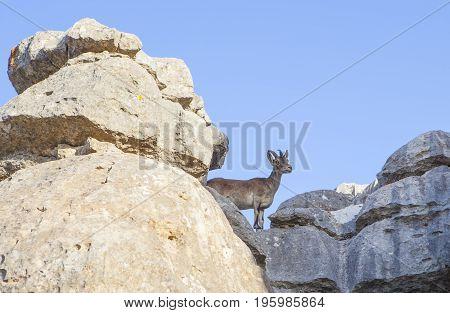 Wild goat on the rocks of La Sierra Del Torcal de Antequera National Park Malaga Spain