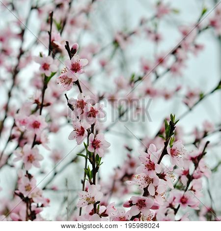 Blossoming cherry trees in spring. Park in Russia.