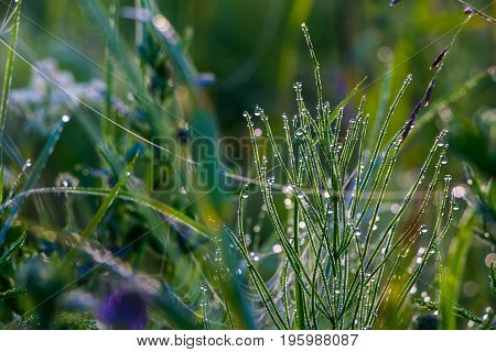 Morning dew on lush green grass, shrouded by strands of web.