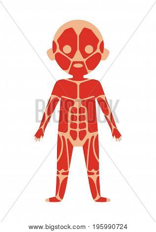 Boy body anatomy with muscular system. Health medical icon, internal organs, human body physiology isolated on white background vector illustration.