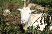 A billy goat having a rest from eating. poster