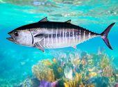 Bluefin tuna fish Thunnus thynnus underwater swimming in sea poster