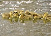 Canada goose goslings swimming in a pond. poster