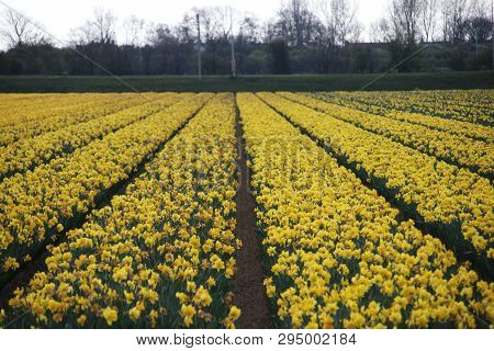 Orange And Yellow Tulips In Rows On Flower Bulb Field In Noordwijkerhout In The Netherlands