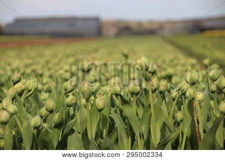 Flowerless Tulips In Rows On Flower Bulb Field In Noordwijkerhout In The Netherlands