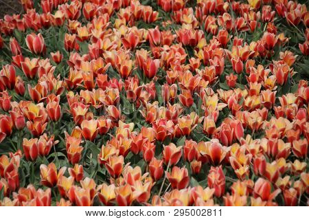 Red And Yellow Tulips In Rows On Flower Bulb Field In Noordwijkerhout In The Netherlands