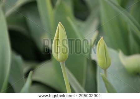 Green Tulips Without Flower Head In Rows On Flower Bulb Field In Noordwijkerhout In The Netherlands